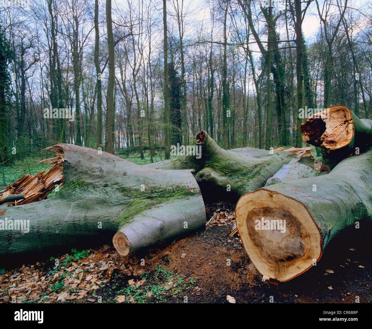 Rotura de viento, cortar troncos de árboles caídos, hayedos, común europeo haya (Fagus sylvatica) Imagen De Stock