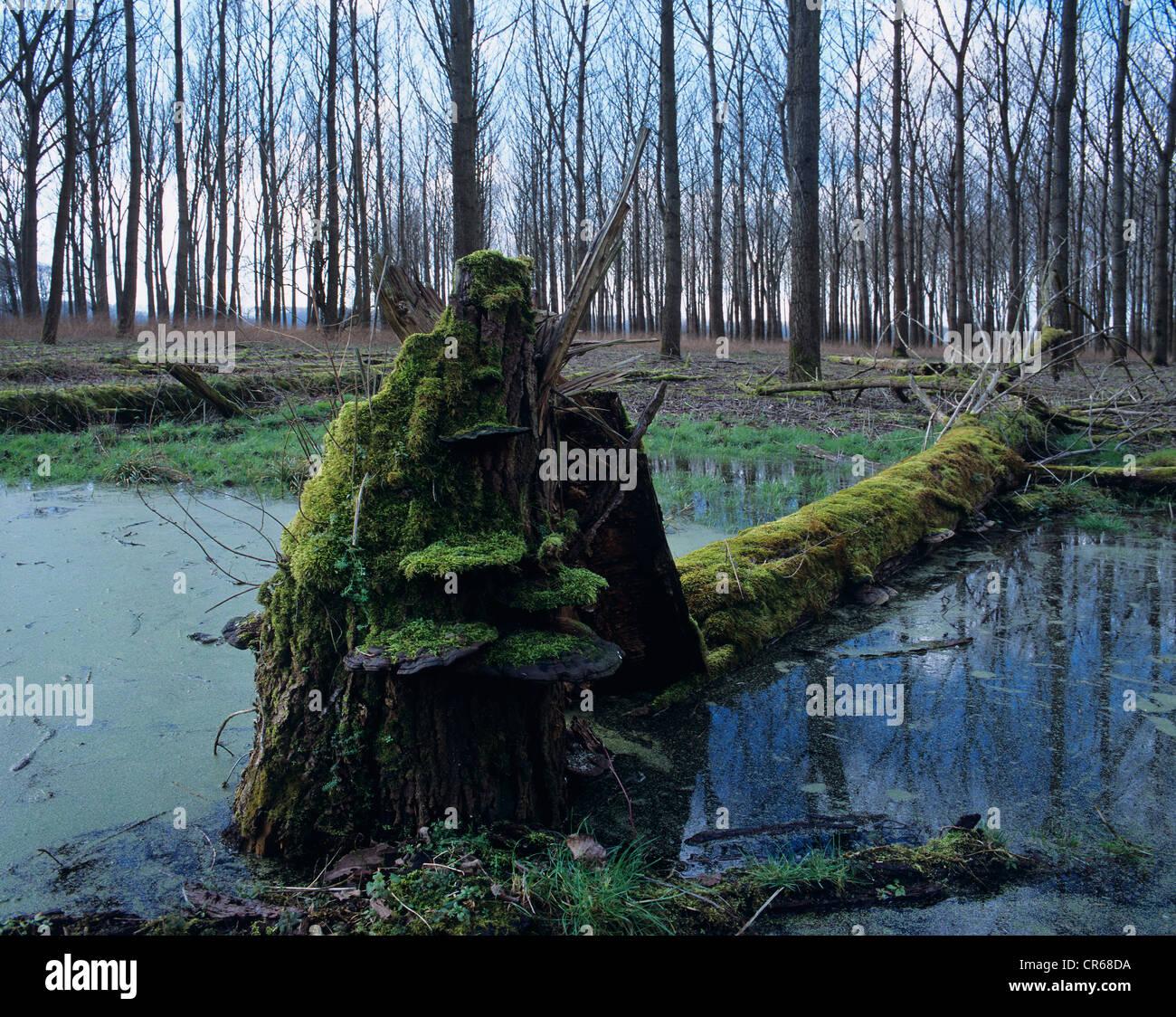 La madera que yacía muerto en un humedal, lenteja de agua (Lemna) en el agua, soporte hongos (Fomitopsis) alrededor Imagen De Stock