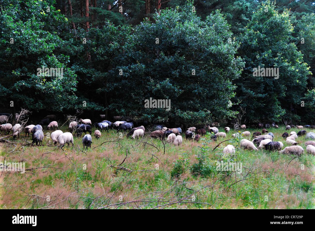 Ovejas, un paisaje raza de pastoreo en zonas de conservación Pinnow, Mecklemburgo-Pomerania Occidental, Alemania, Europa Foto de stock
