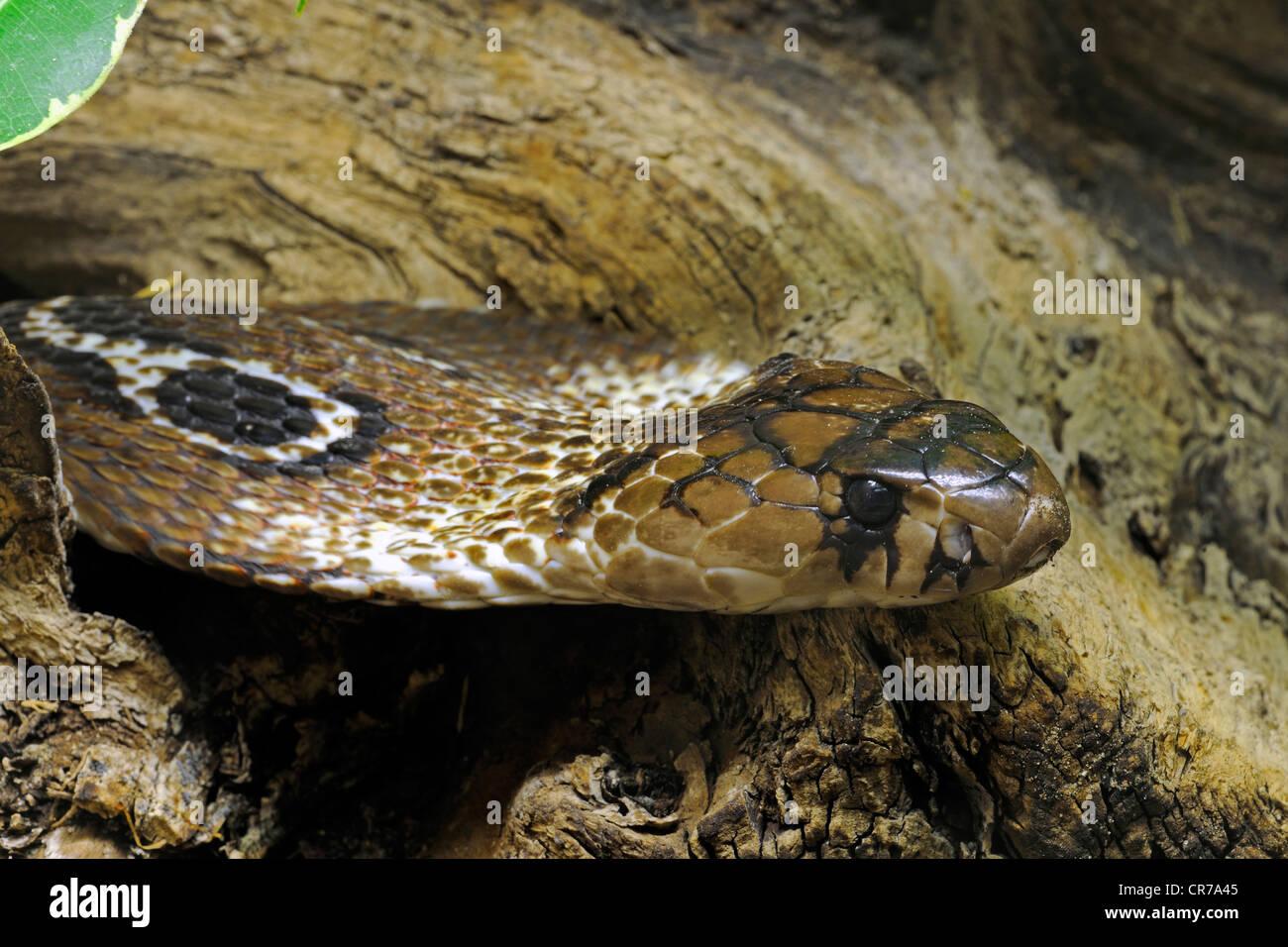 La Cobra india o Cobra, Oso de Anteojos (Naja naja naja), Asia Foto de stock