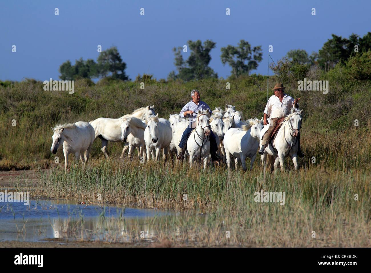 Caballos de Camargue (Equus caballus), caballo-jinete, Saintes-Marie-de-la-Mer, Camargue, Francia, Europa Imagen De Stock