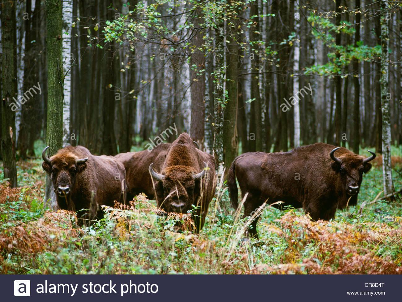 El bisonte europeo, Reserva Prioksko-Terrasnyy, Rusia Imagen De Stock