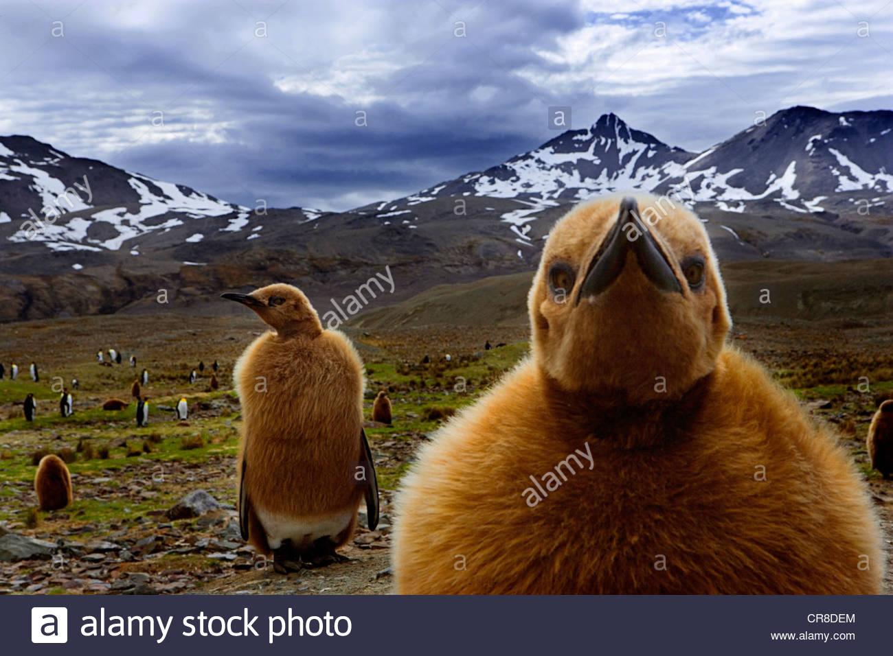 De polluelos de pingüinos rey, Isla Georgia del Sur, Reino Unido Imagen De Stock