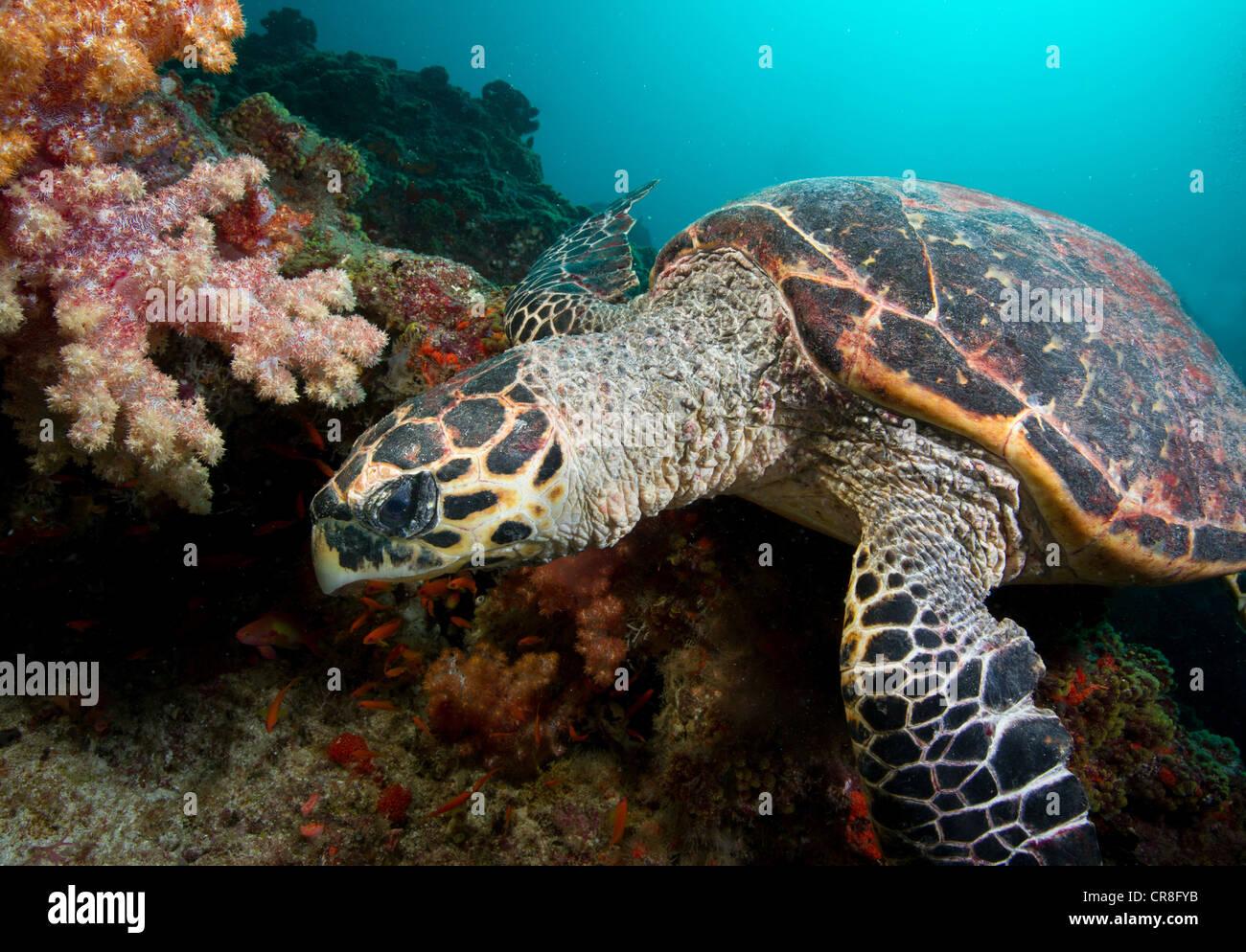 La tortuga carey en arrecifes de coral Foto de stock