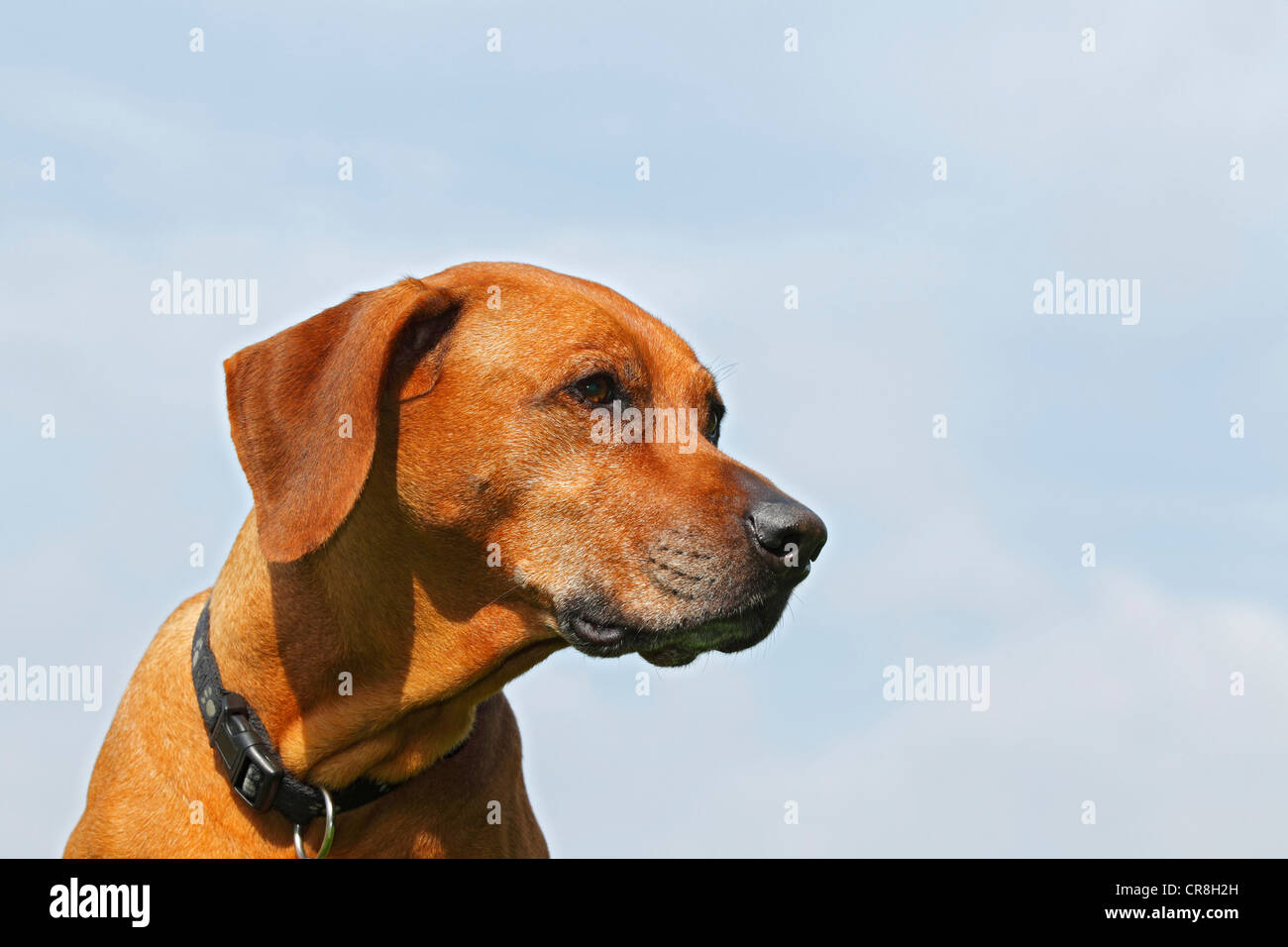 Ridgeback de Rhodesia, hembra del perro (Canis lupus familiaris), Retrato Foto de stock