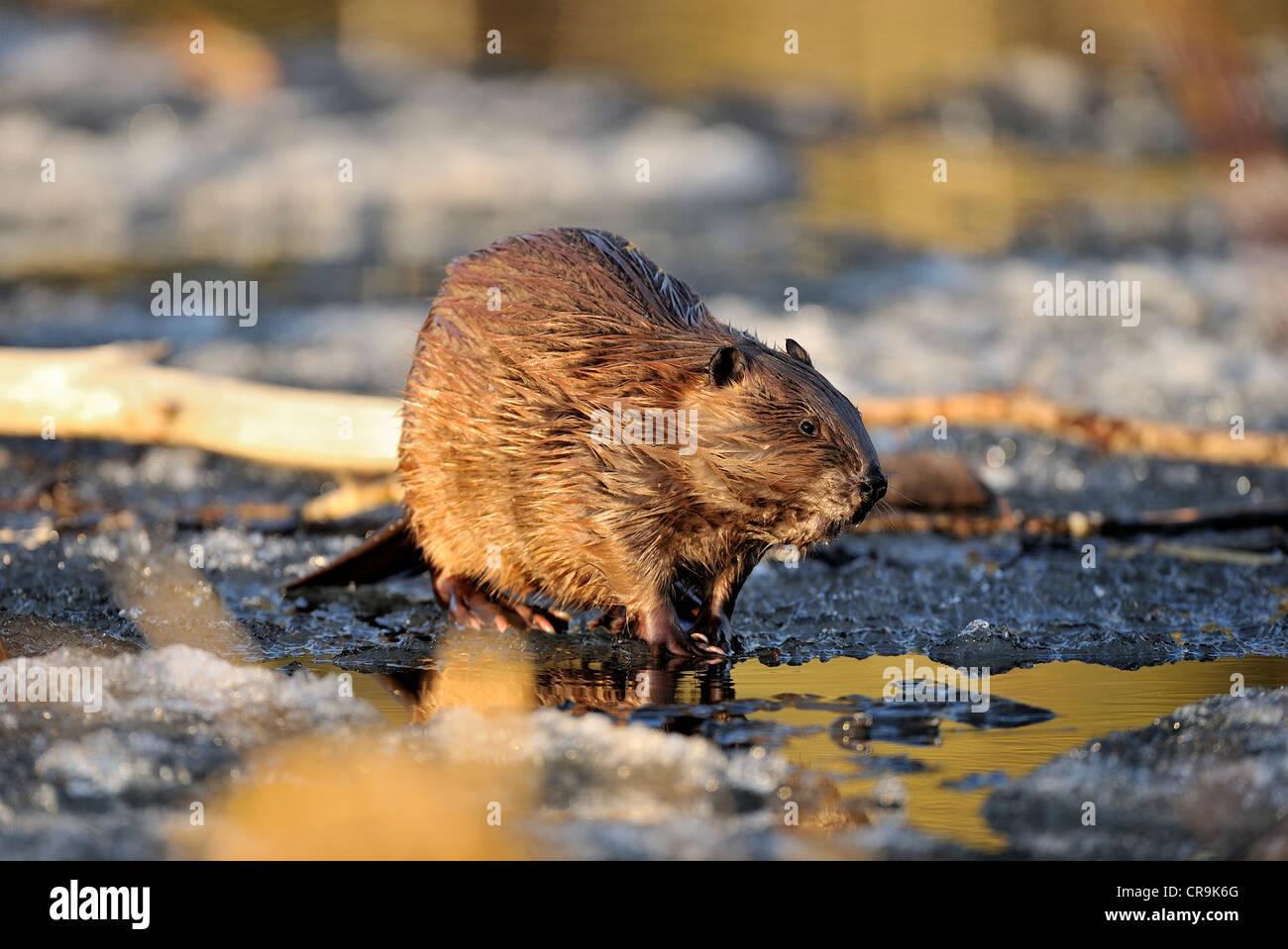Un beaver caminando sobre el hielo derritiéndose rápidamente en su beaver pond al atardecer. Imagen De Stock