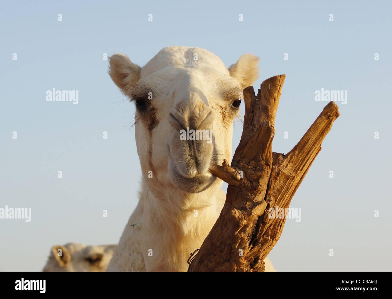 Camello masticando tocón de árbol. Arenas rojas del desierto, Riad, Reino de Arabia Saudita Imagen De Stock