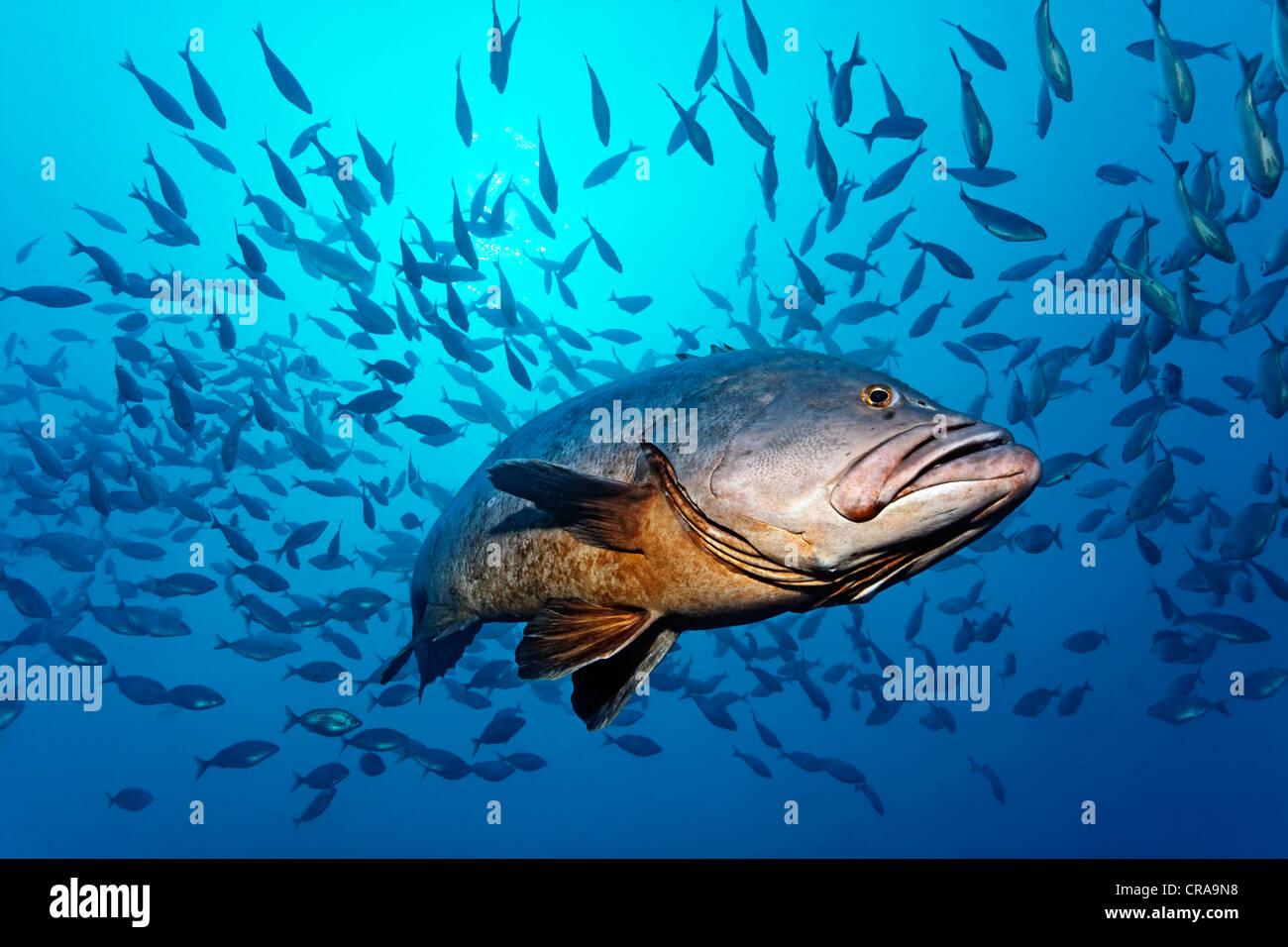 Agrupador (areneros Epiunephelus marginatus) en aguas abiertas, cardumen, Madeira, Portugal, Europa, Océano Imagen De Stock