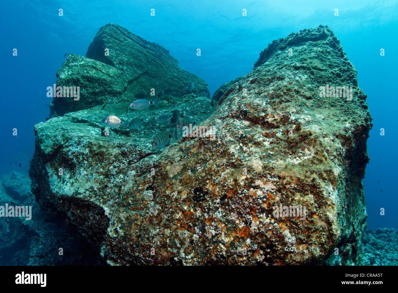 Rock con Acorn percebes (Balanus trigonus) y africanos Pargo blanco o Sargo (Diplodus sargus cadenati), Madeira, Portugal Foto de stock