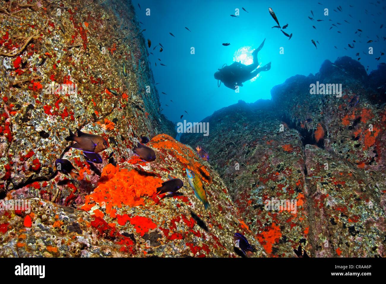 Scuba Diver, con el sol como la retroiluminación, observando una roca cubierto con esponja común (Crambe crambe) y Acorn percebes Foto de stock