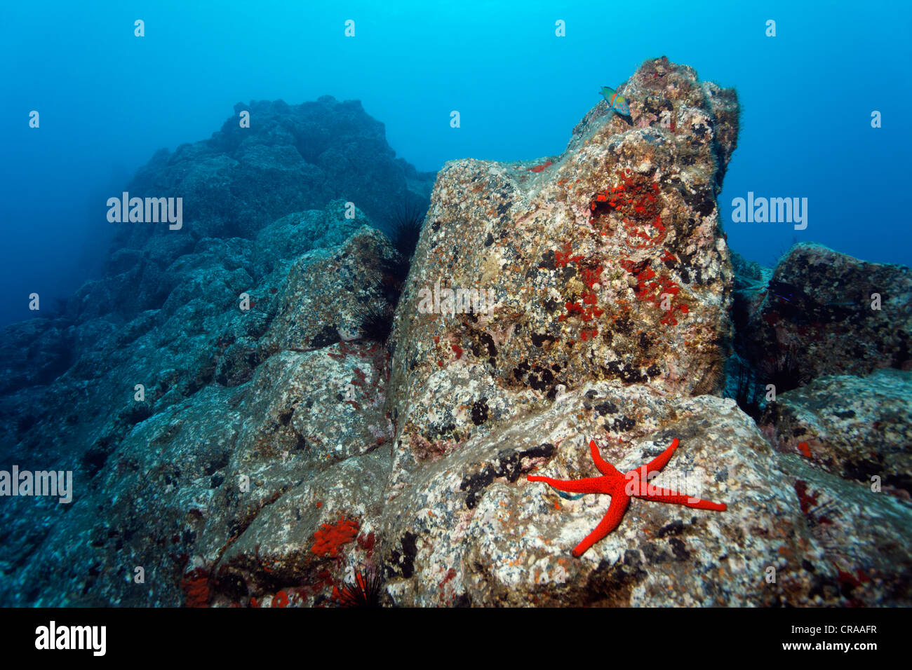 Paisajes submarinos rocosos, Estrella de mar roja (Echinaster sepositus), Acorn percebes (Balanus trigonus), Madeira, Portugal, Europa Foto de stock