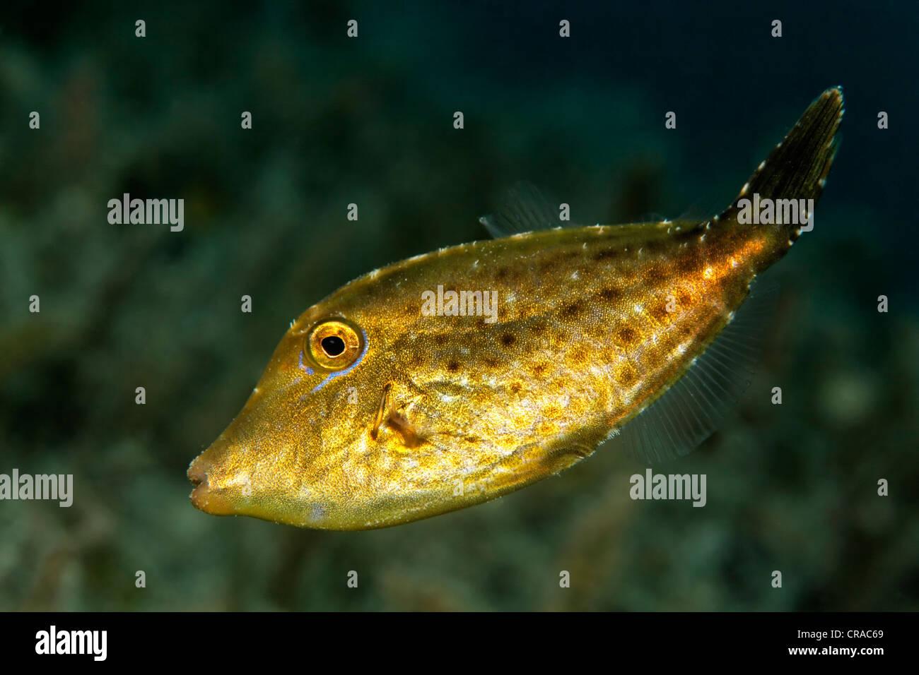 (Paramonacanthus nematophorus Filefish fuzzy), Makadi Bay, Hurghada, Egipto, Mar Rojo, África Imagen De Stock