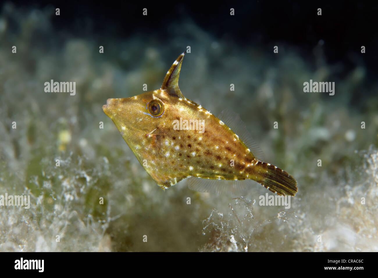 Paramonacanthus nematophorus Filefish difusa (malezas) que van al mar, Mar Makadi Bay, Hurghada, Egipto, Mar Rojo, Imagen De Stock