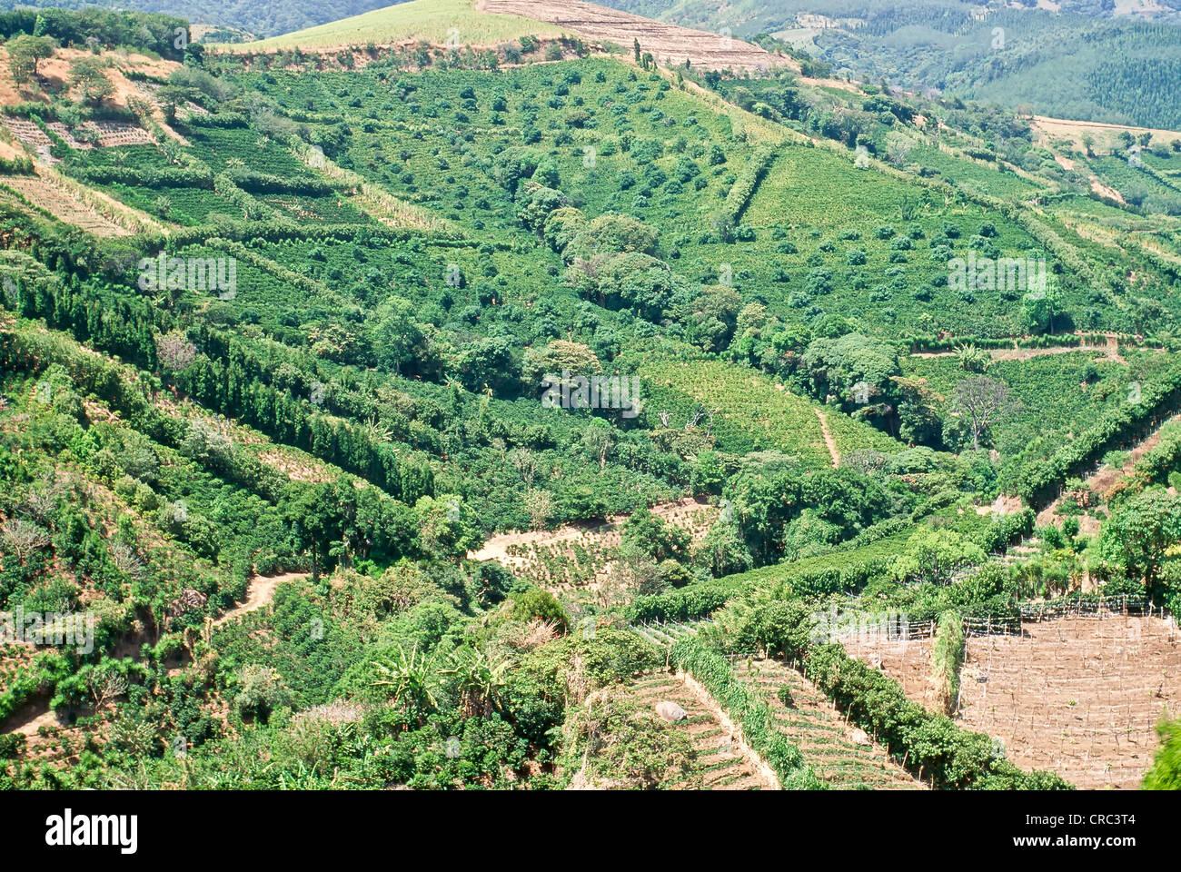 Las plantaciones de café, cultivos intercalados con árboles frutales tropicales. Imagen De Stock