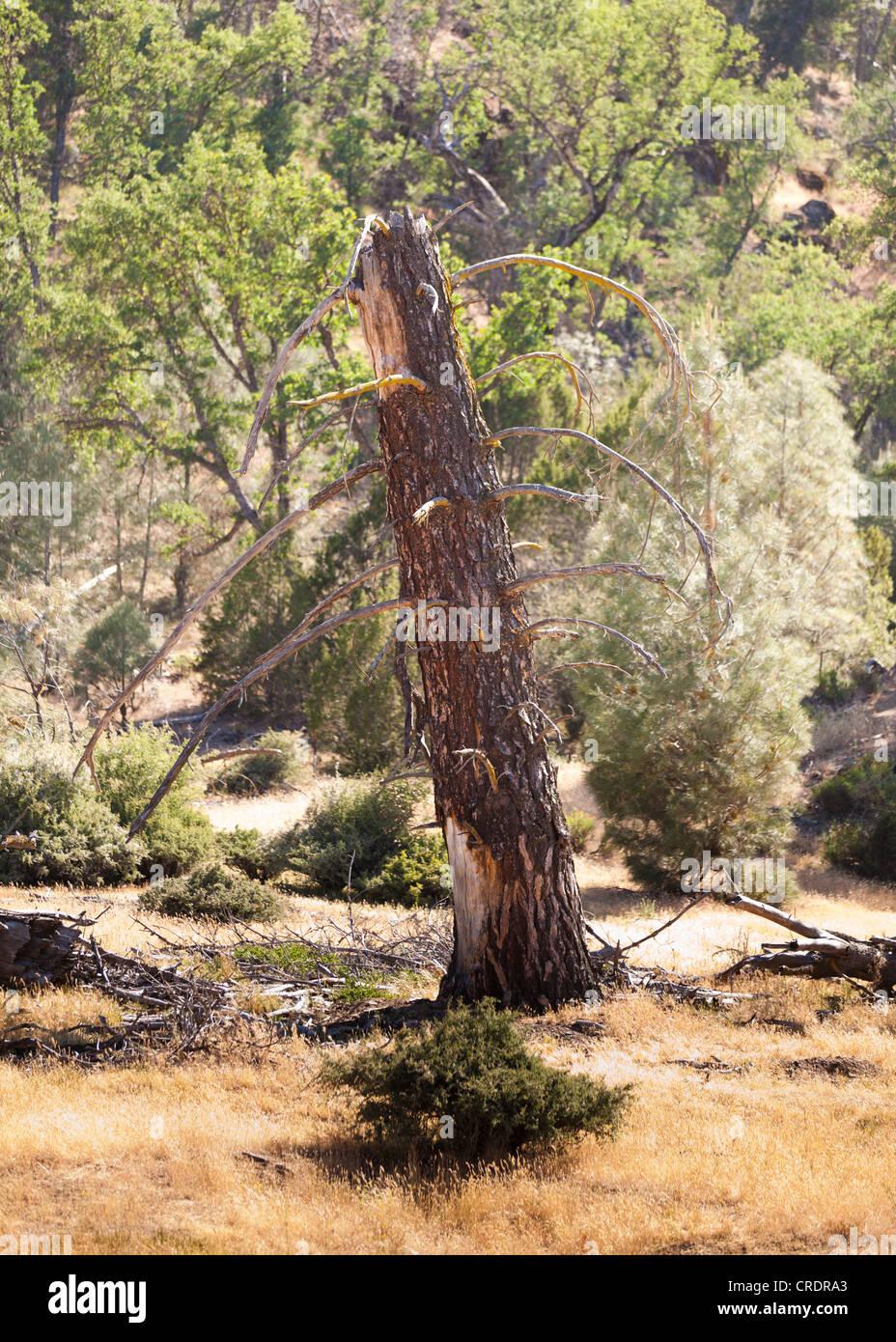 Rotura del tronco de un árbol en el bosque Imagen De Stock