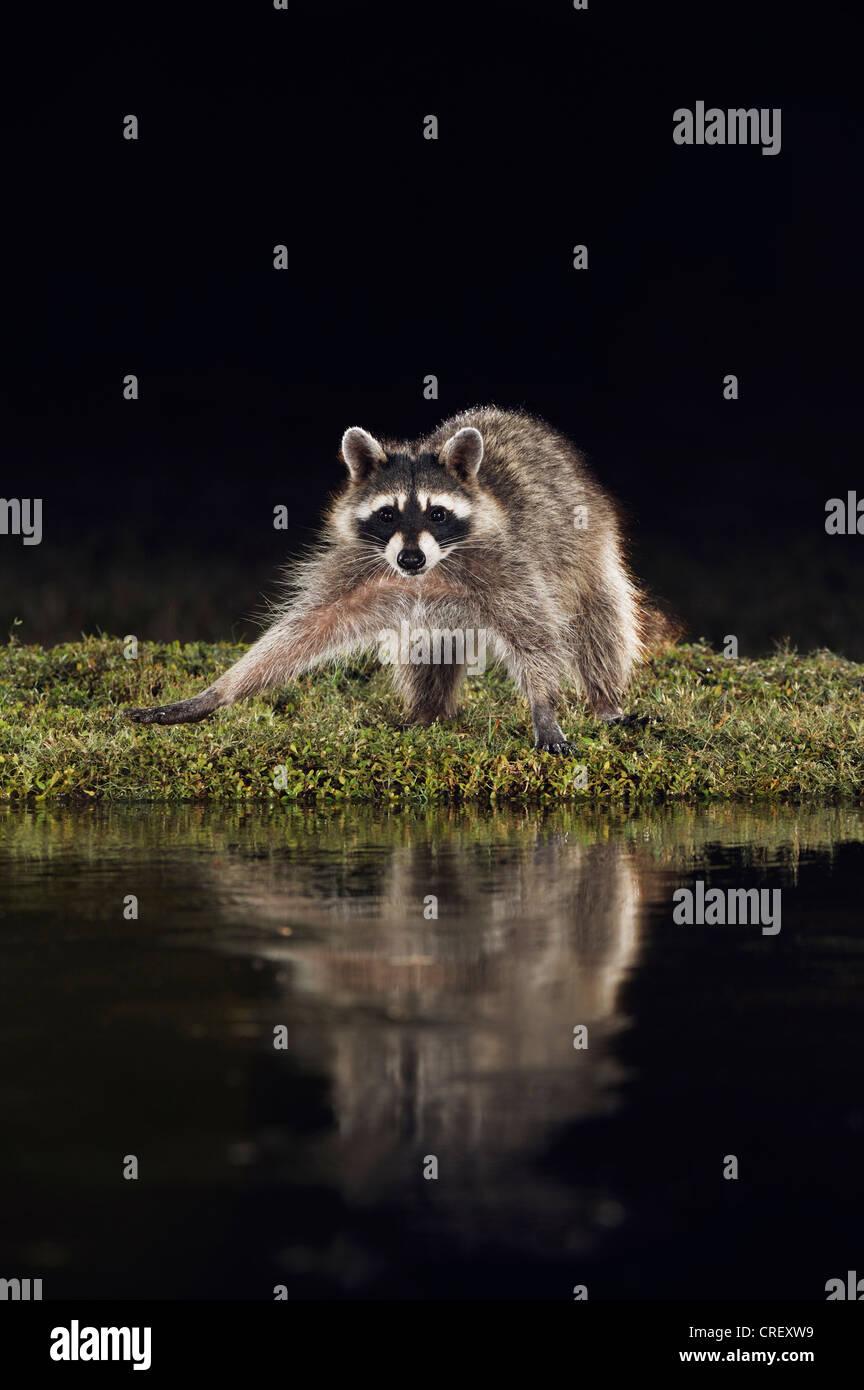 Norte de mapache (Procyon lotor), de adultos por la noche en el estanque, Dinero, el lago de Corpus Christi, el Imagen De Stock