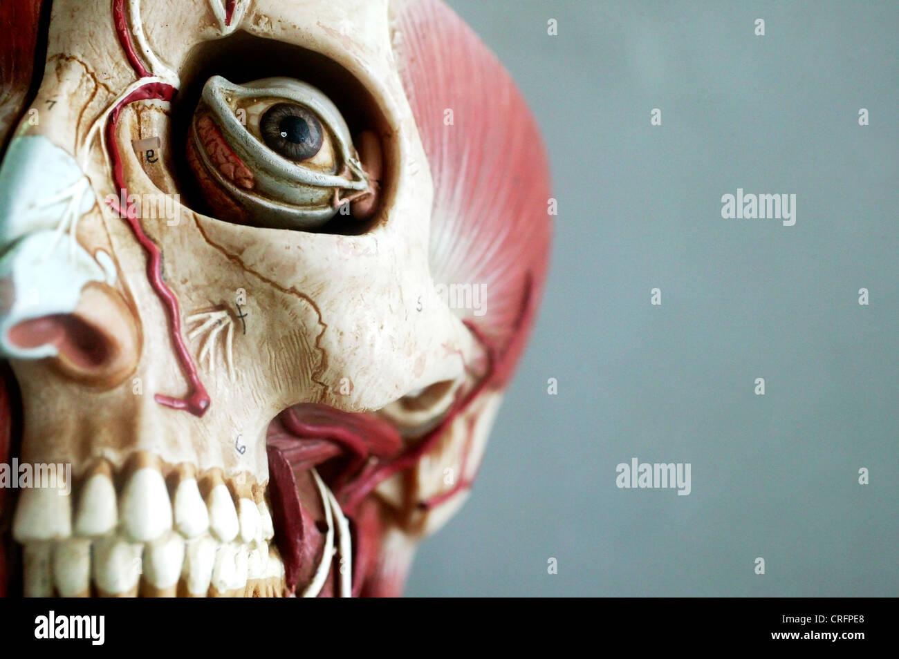 Un modelo anatómico que muestra la estructura ósea de la cabeza. Imagen De Stock