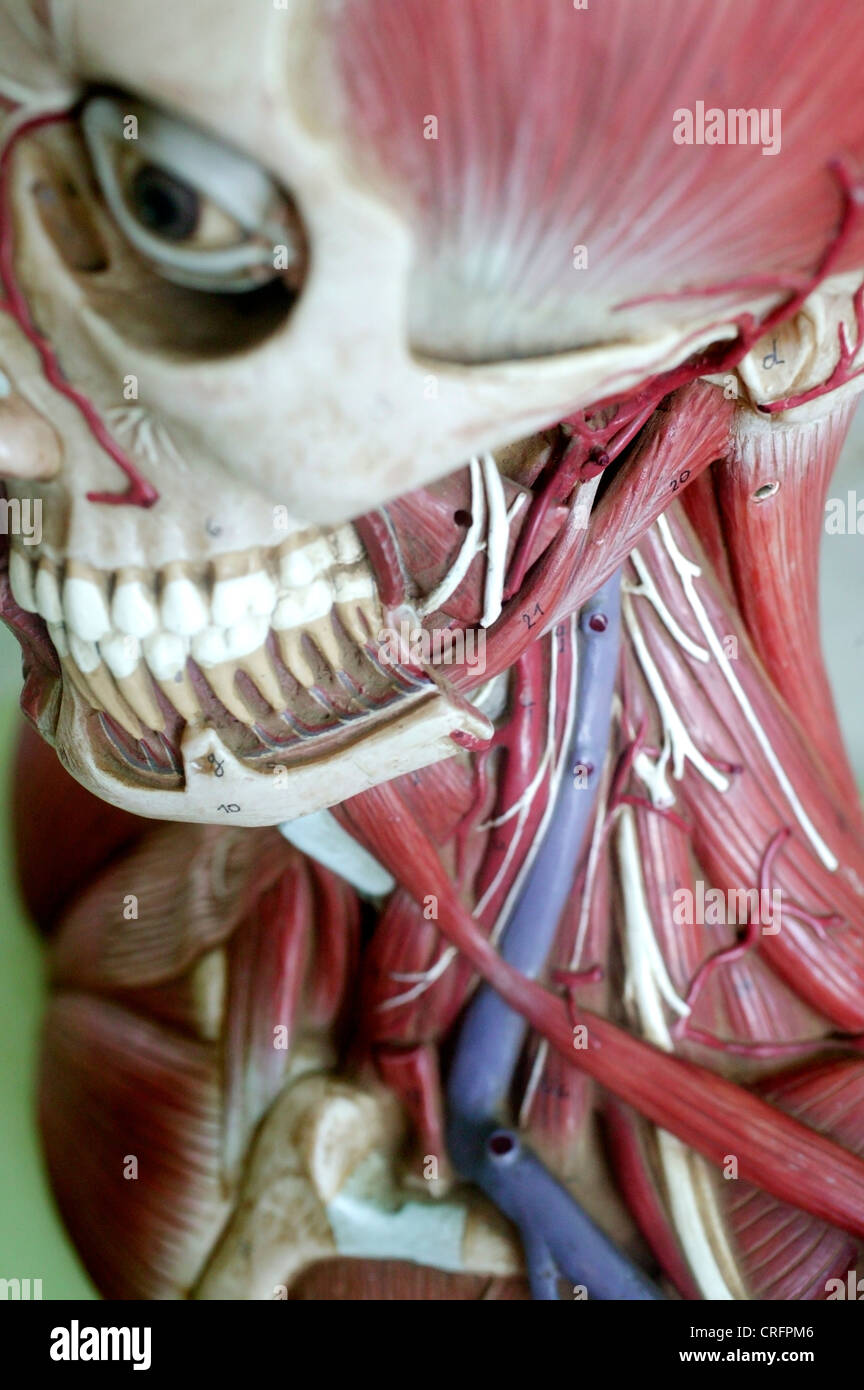 Anatomía académica arterias arteria Biología biológica hueso cara ...