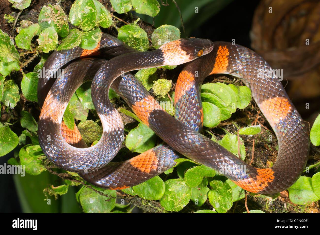 Bandas Oxyrhopus petola calico (serpiente) en el Amazonas ecuatoriano. Imagen De Stock