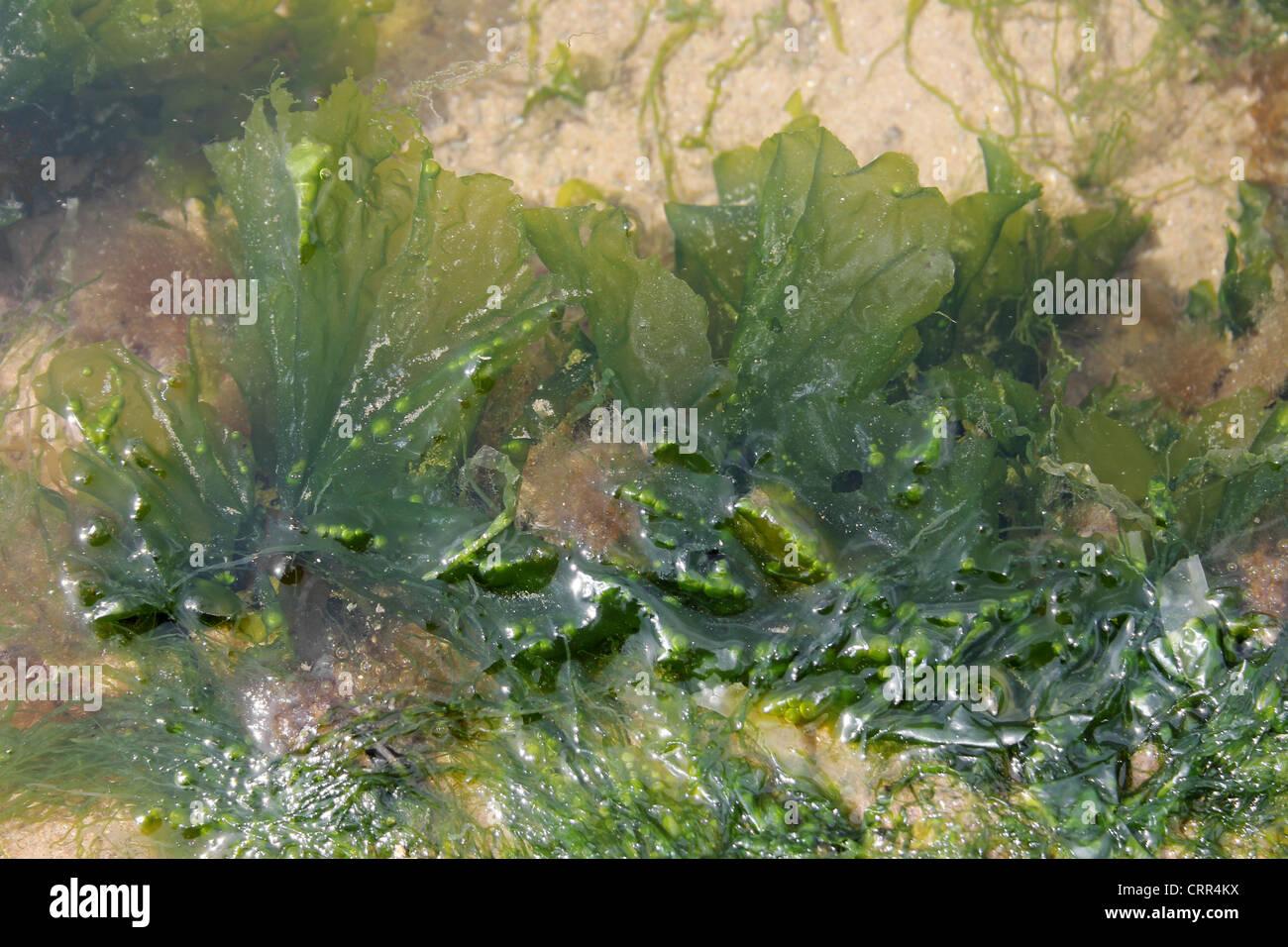 La lechuga de mar Ulva lactuca Foto de stock