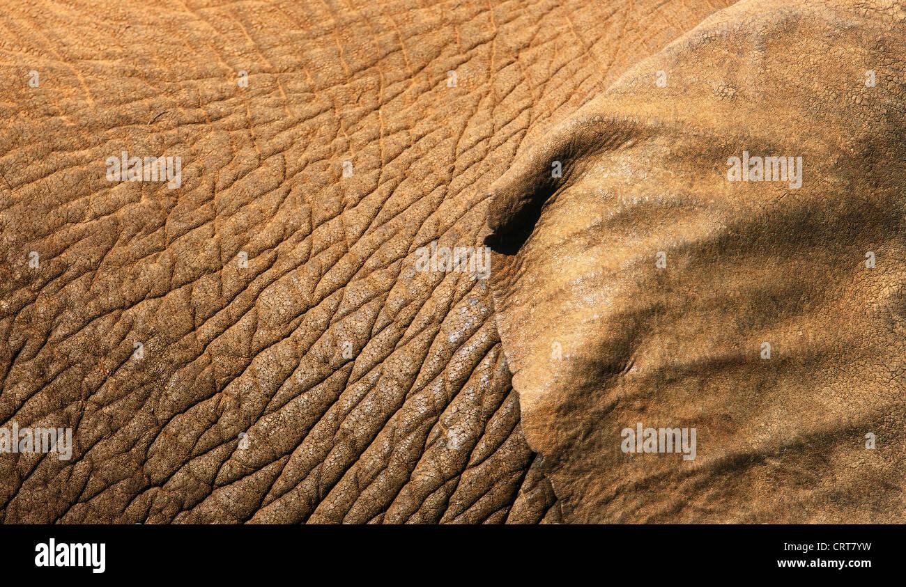 La textura de la piel de elefante africano cercano con parte de la oreja mostrando (Parque Nacional de Elefantes Foto de stock