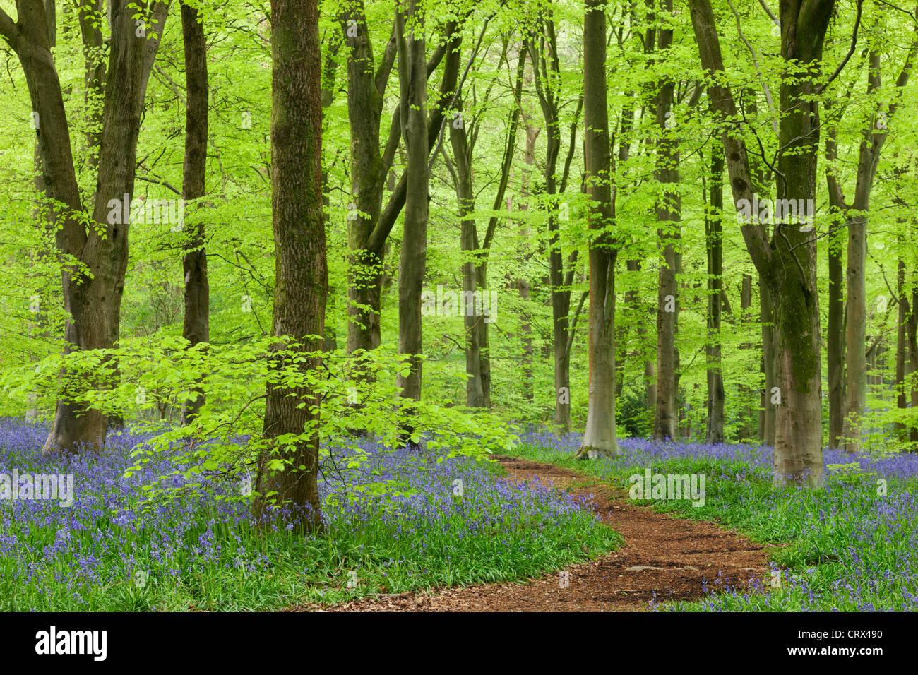 Bluebell alfombra en un bosque de hayas, West Woods, Wiltshire, Inglaterra. La primavera (Mayo de 2012). Imagen De Stock