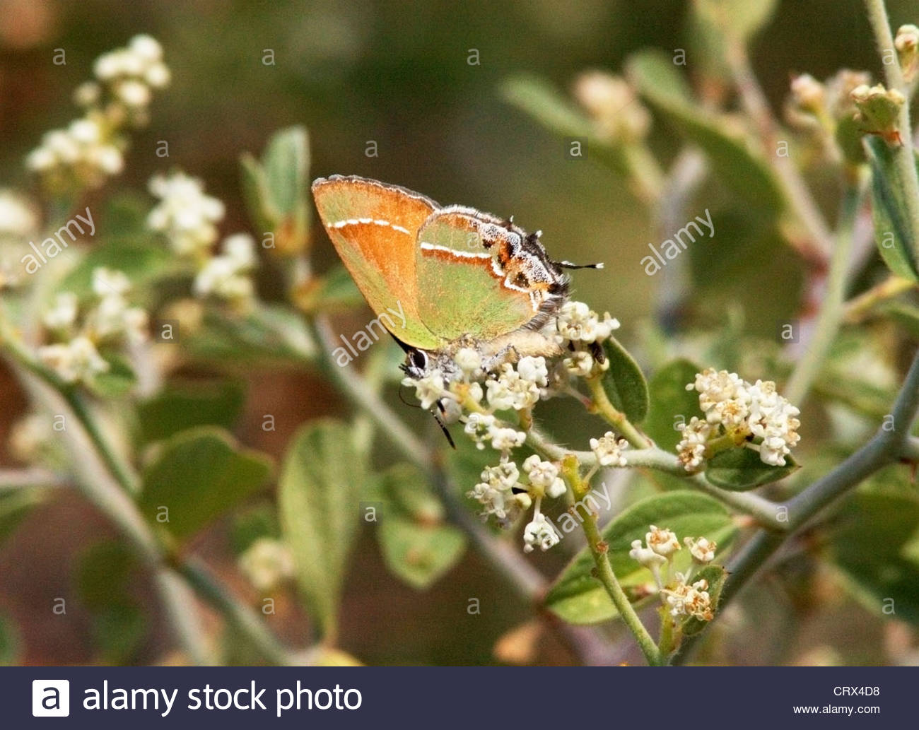 Siva Juniper Hairstreak Callophrys gryneus Mitoura gryneus siva Butterfly Arizona Foto de stock