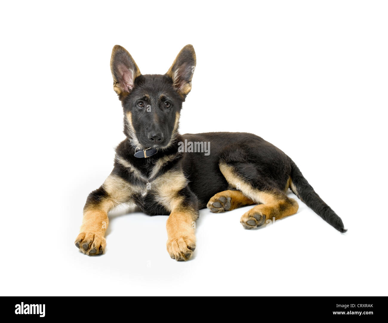 German Shepherd Puppy Foto de stock