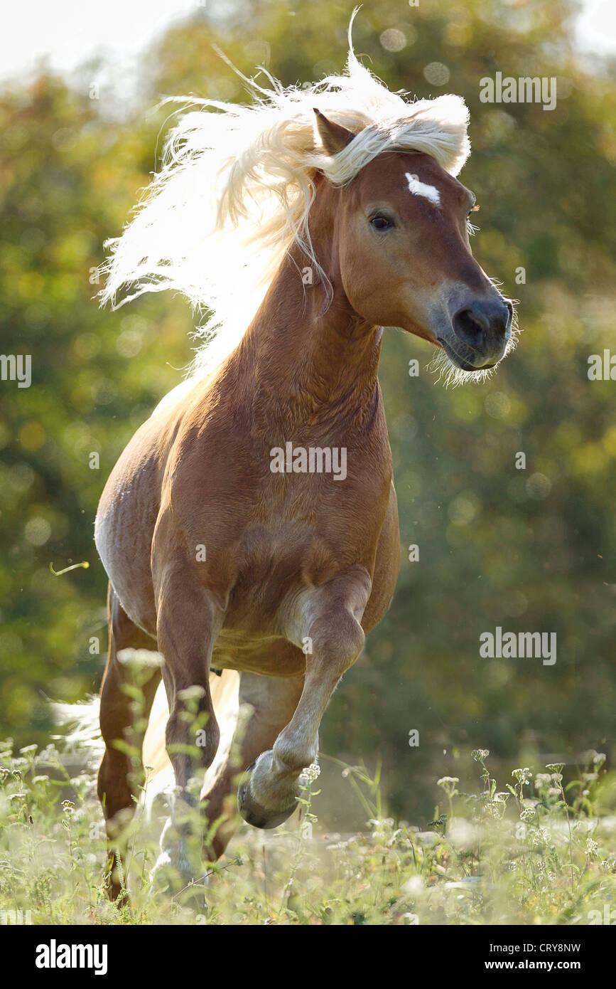 Semental de caballos Haflinger Amigo galope meadow Imagen De Stock