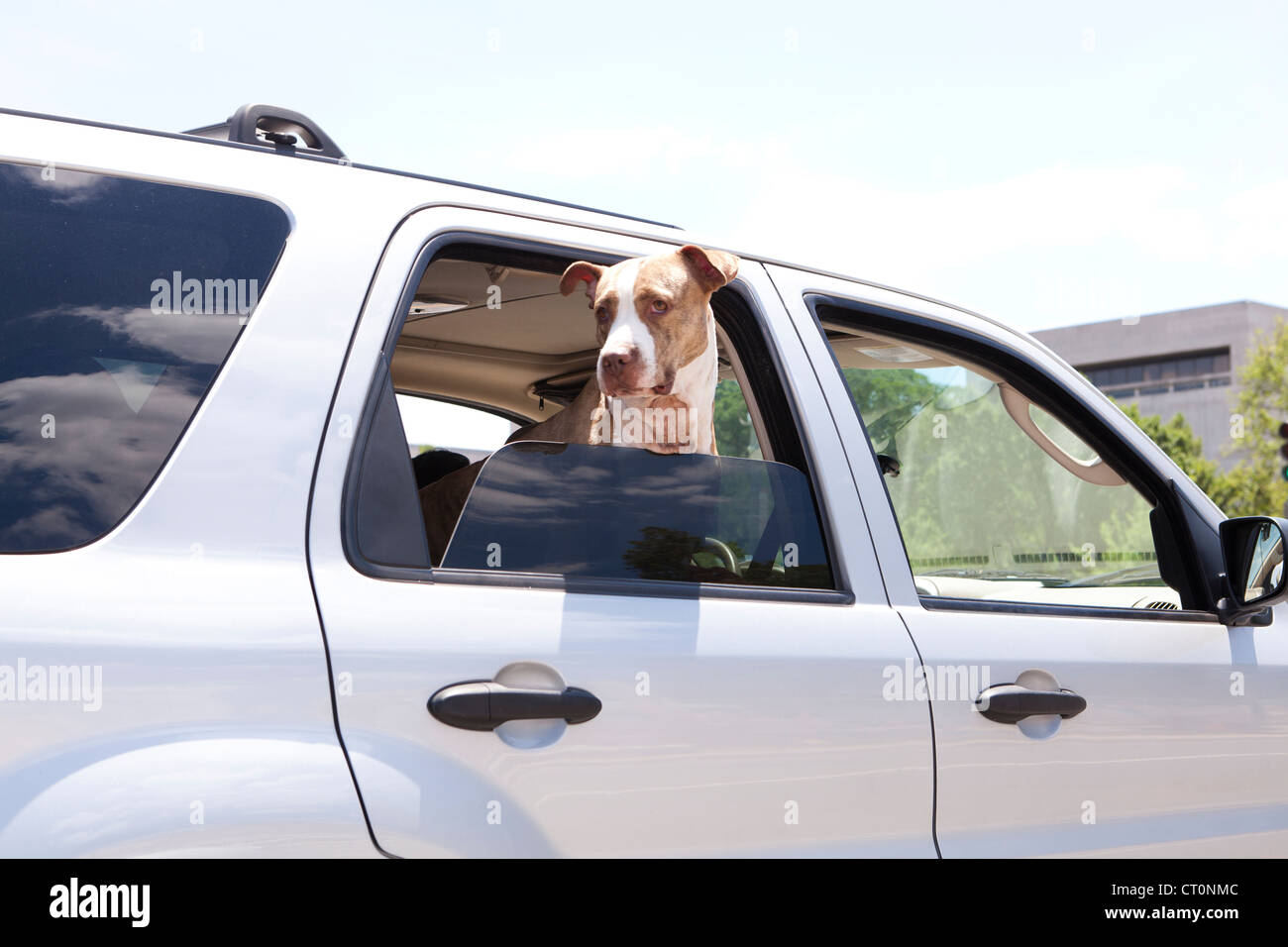 Perro asomado a la ventanilla de un coche Imagen De Stock