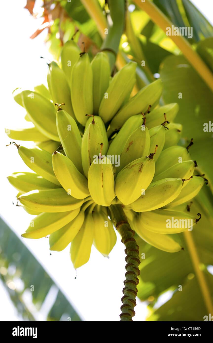 Los plátanos crecen en árbol Imagen De Stock