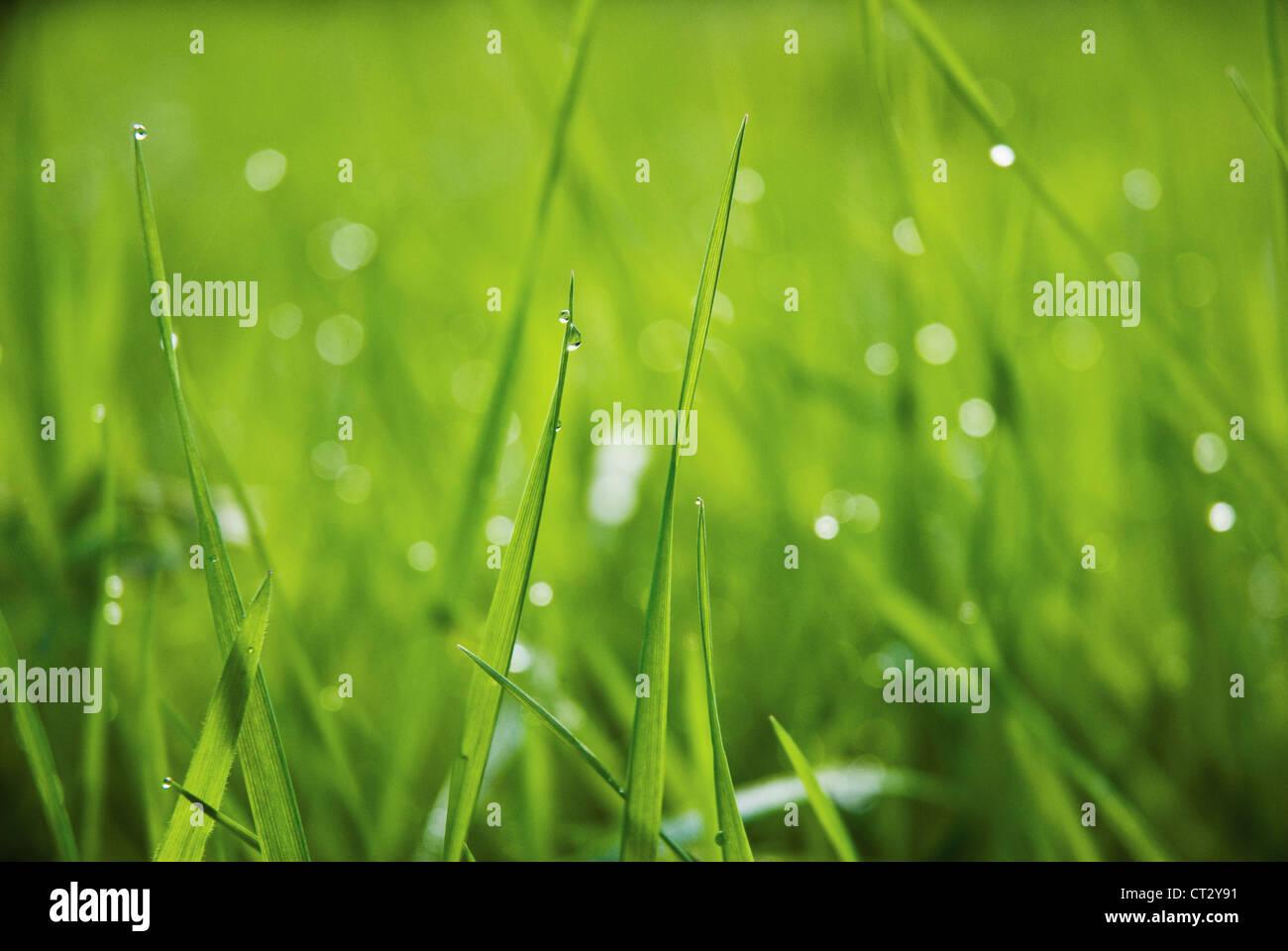 Hierba de cerca al nivel del suelo con gotas de agua sobre las hojas verdes. Imagen De Stock