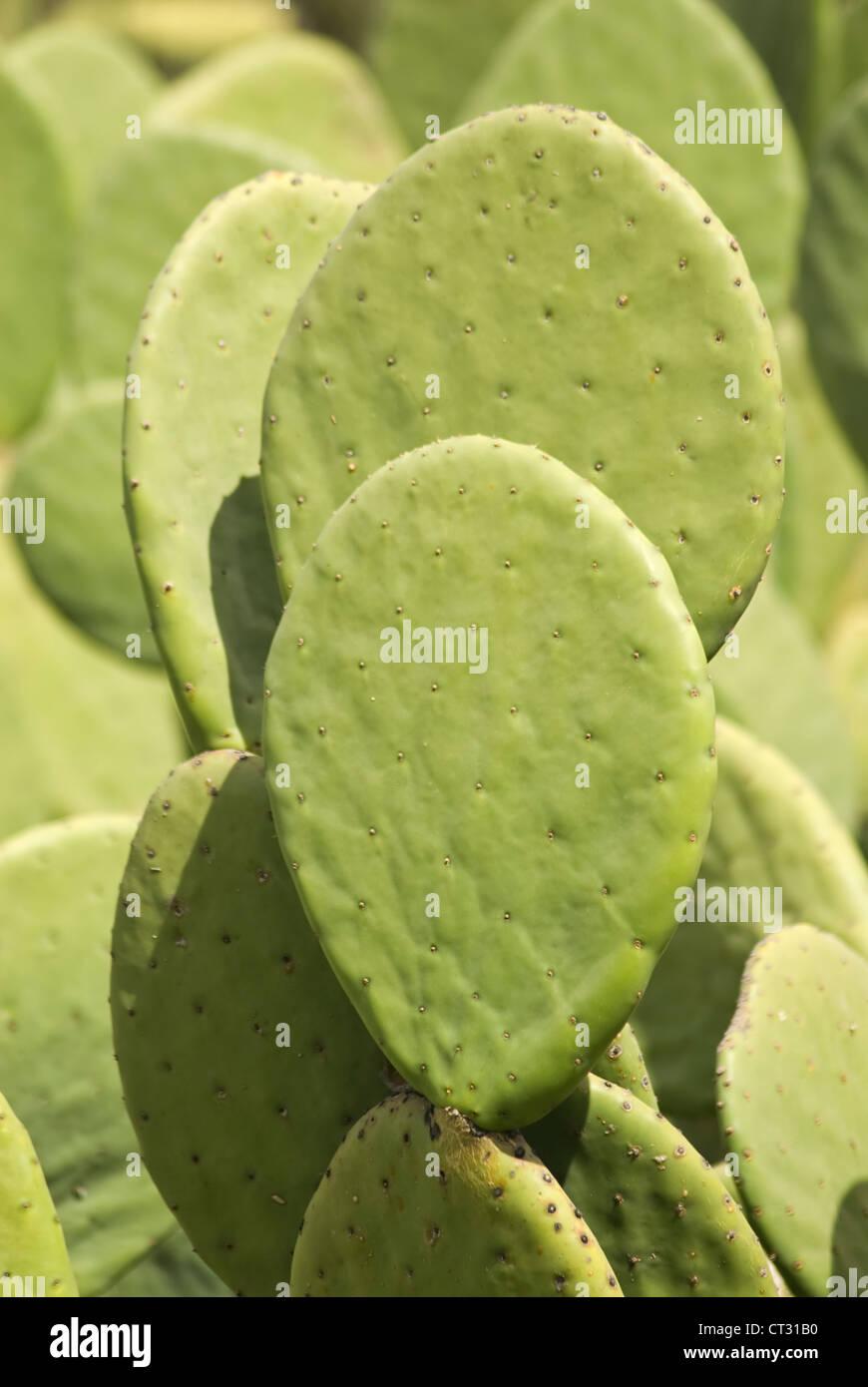 Opuntia, nopal Imagen De Stock