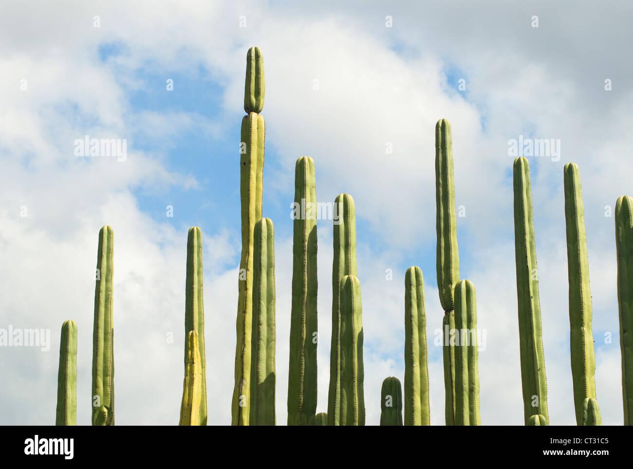 Pachycereus Marginatus, Cactus, vallado de cactus mexicanos Imagen De Stock