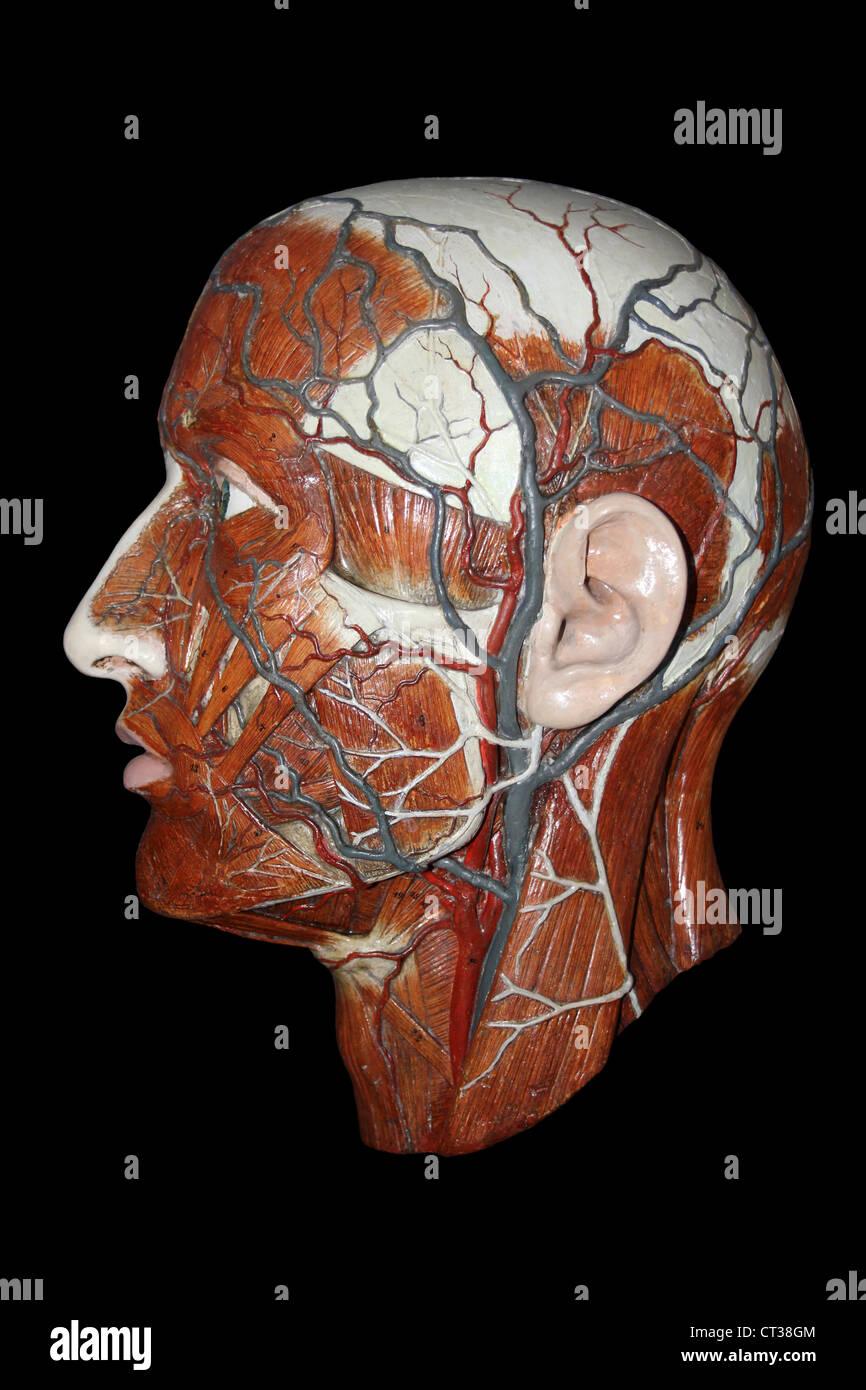 Modelo anatómico de la cabeza humana mostrando las arterias y venas Imagen De Stock