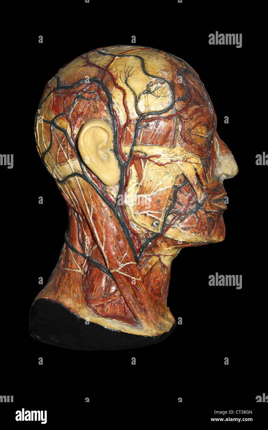 Cera modelo anatómico de la cabeza humana mostrando las arterias y venas Imagen De Stock