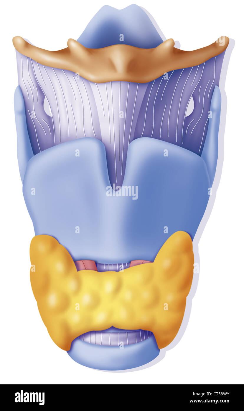 Crico Thyroid Imágenes De Stock & Crico Thyroid Fotos De Stock - Alamy