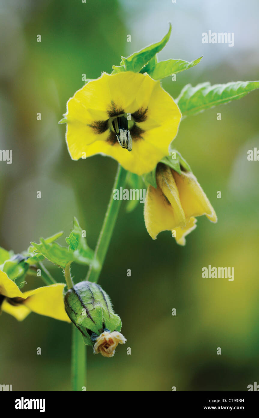 Physalis philadelphica 'Purple de Milpa', flores amarillas de tomatillo, también conocido como el tomate Imagen De Stock