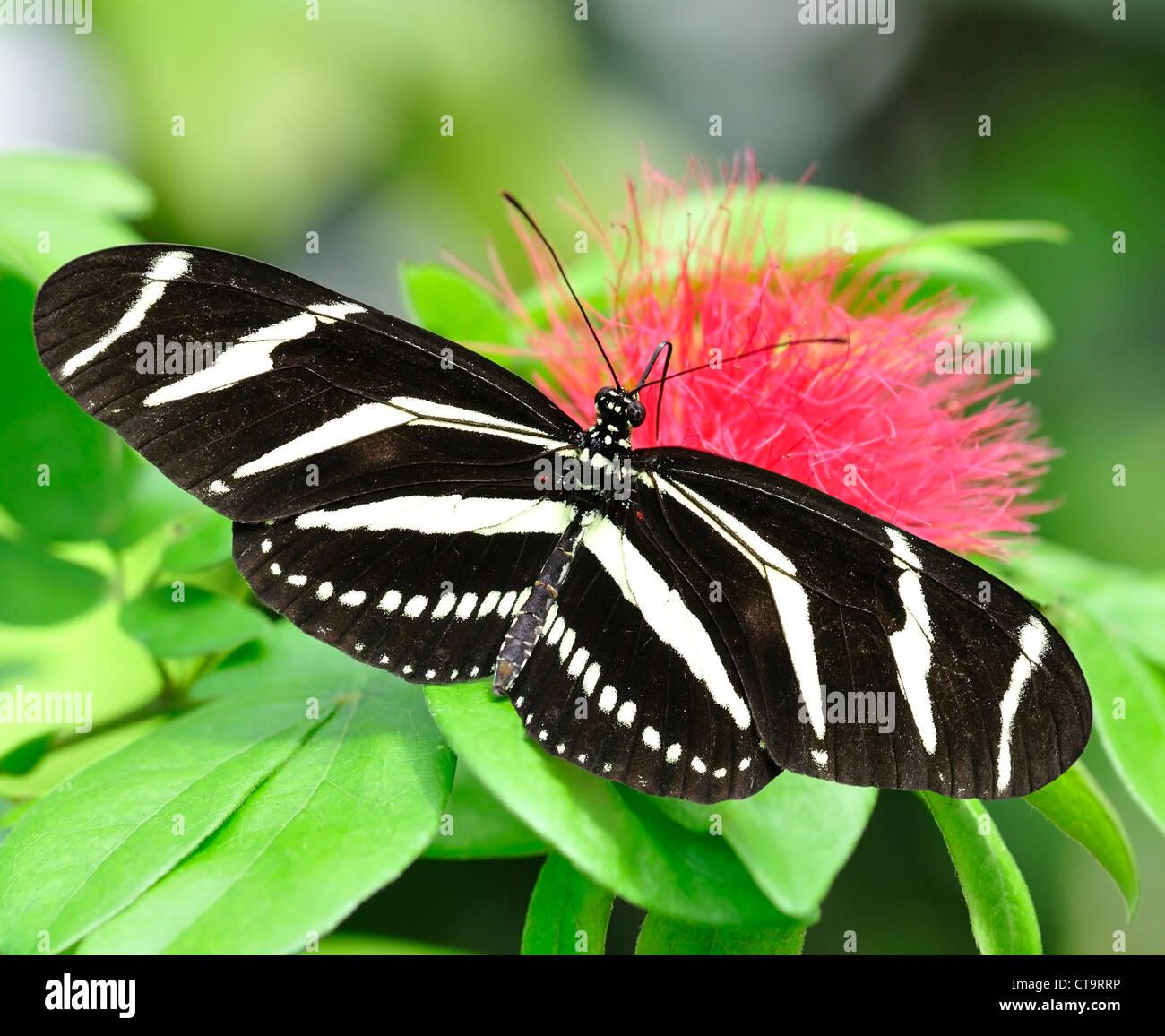 La cebra Longwing (Heliconius Charitonius) Butterfly Imagen De Stock
