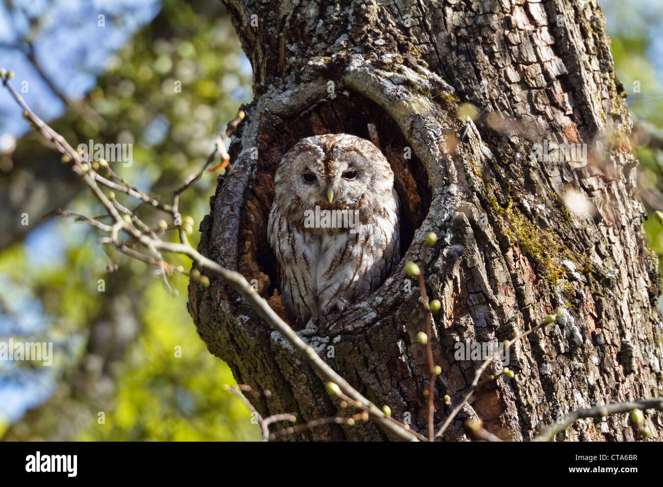 Owl (Strix aluco marrón) en el tronco de un árbol, Baviera, Alemania Imagen De Stock