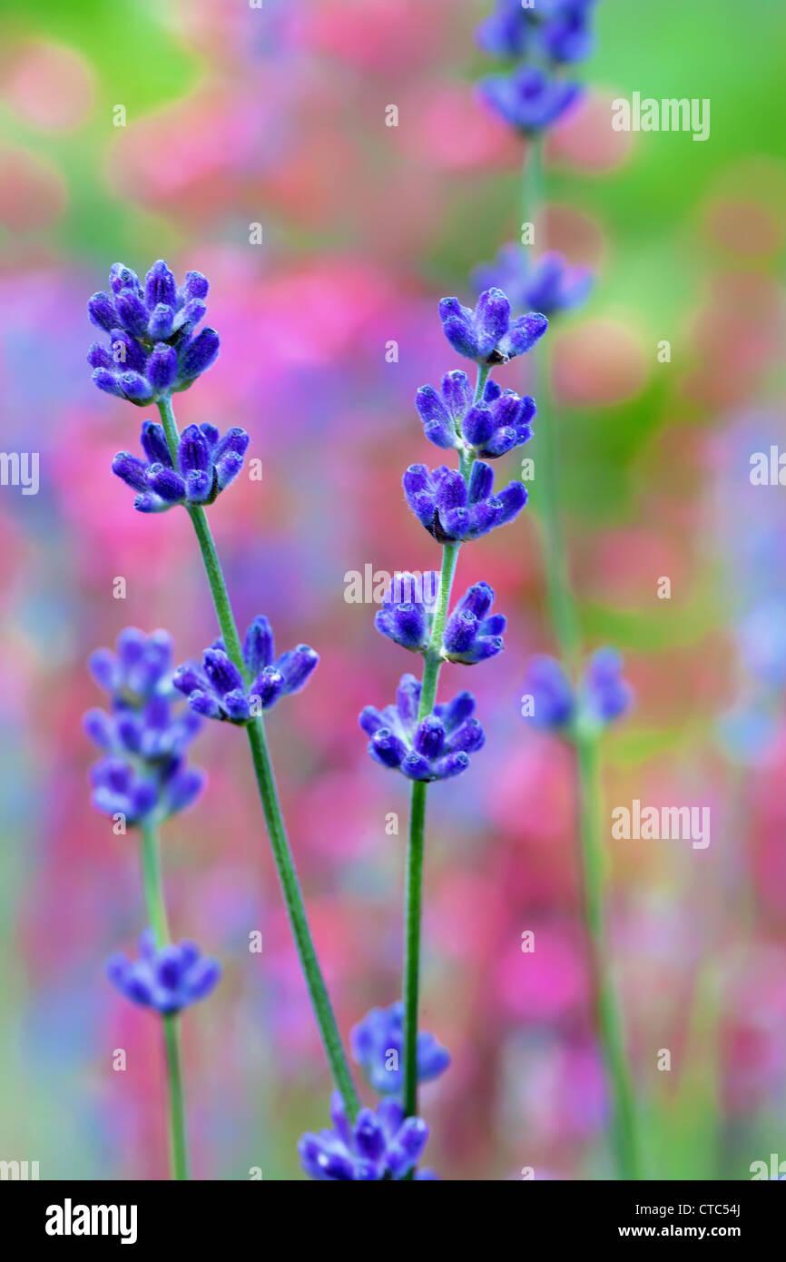 Campo de flores de lavanda, macro con foco suave Imagen De Stock