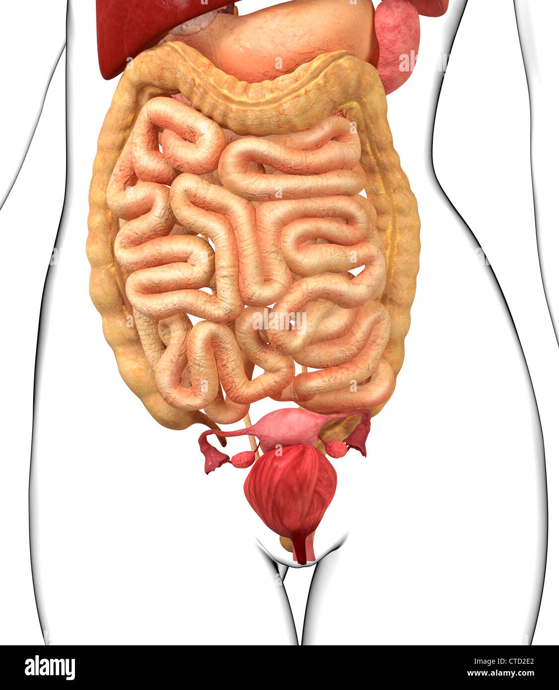 Female Abdominal Anatomy Imágenes De Stock & Female Abdominal ...