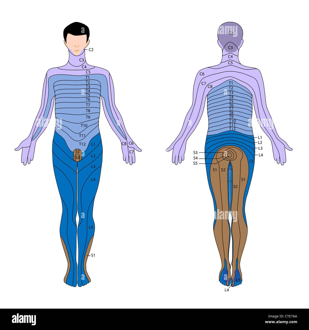 Cervical Spinal Nerves Imágenes De Stock & Cervical Spinal Nerves ...