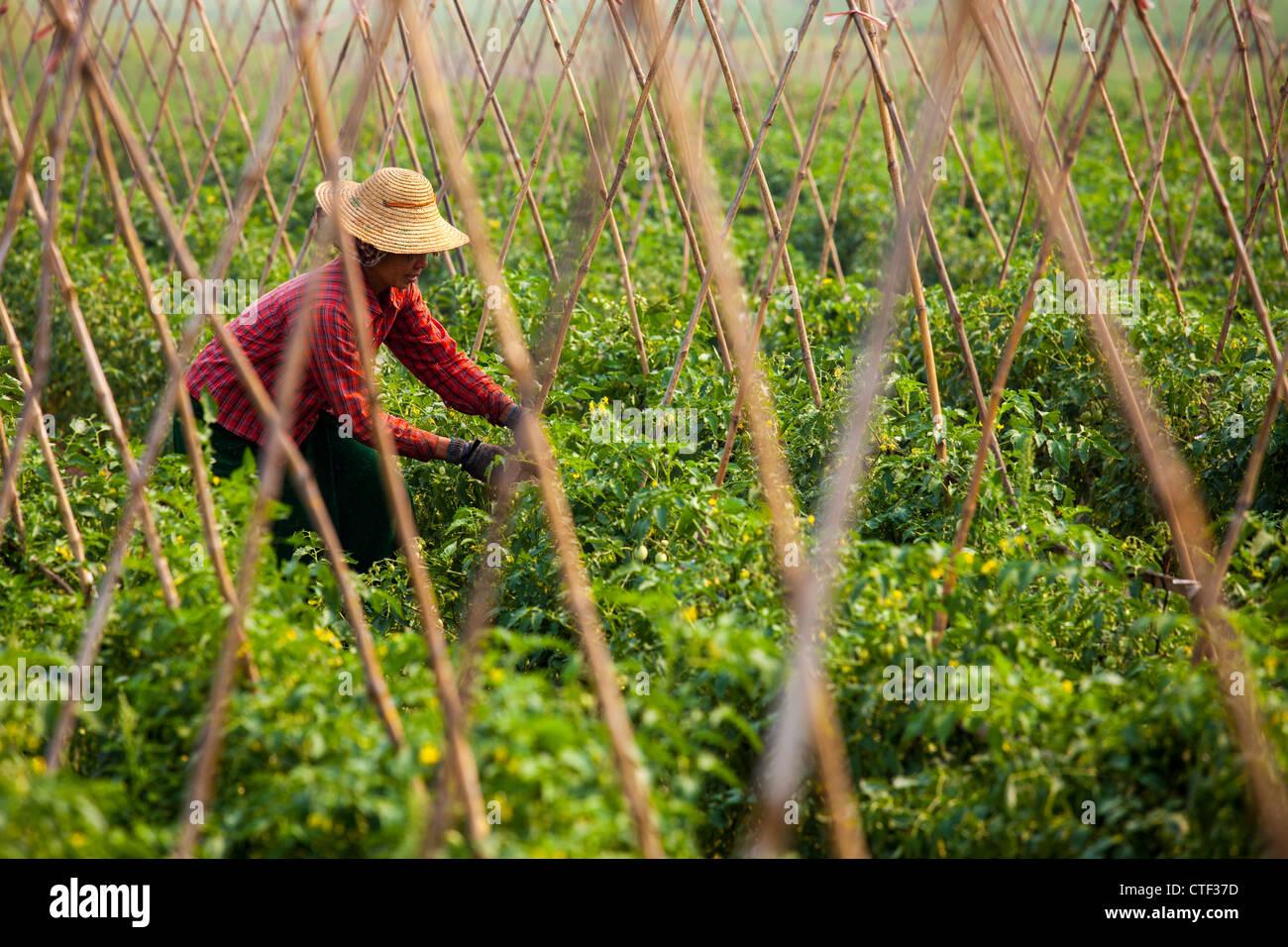 La mujer en Myanmar cultivo de tomate Imagen De Stock