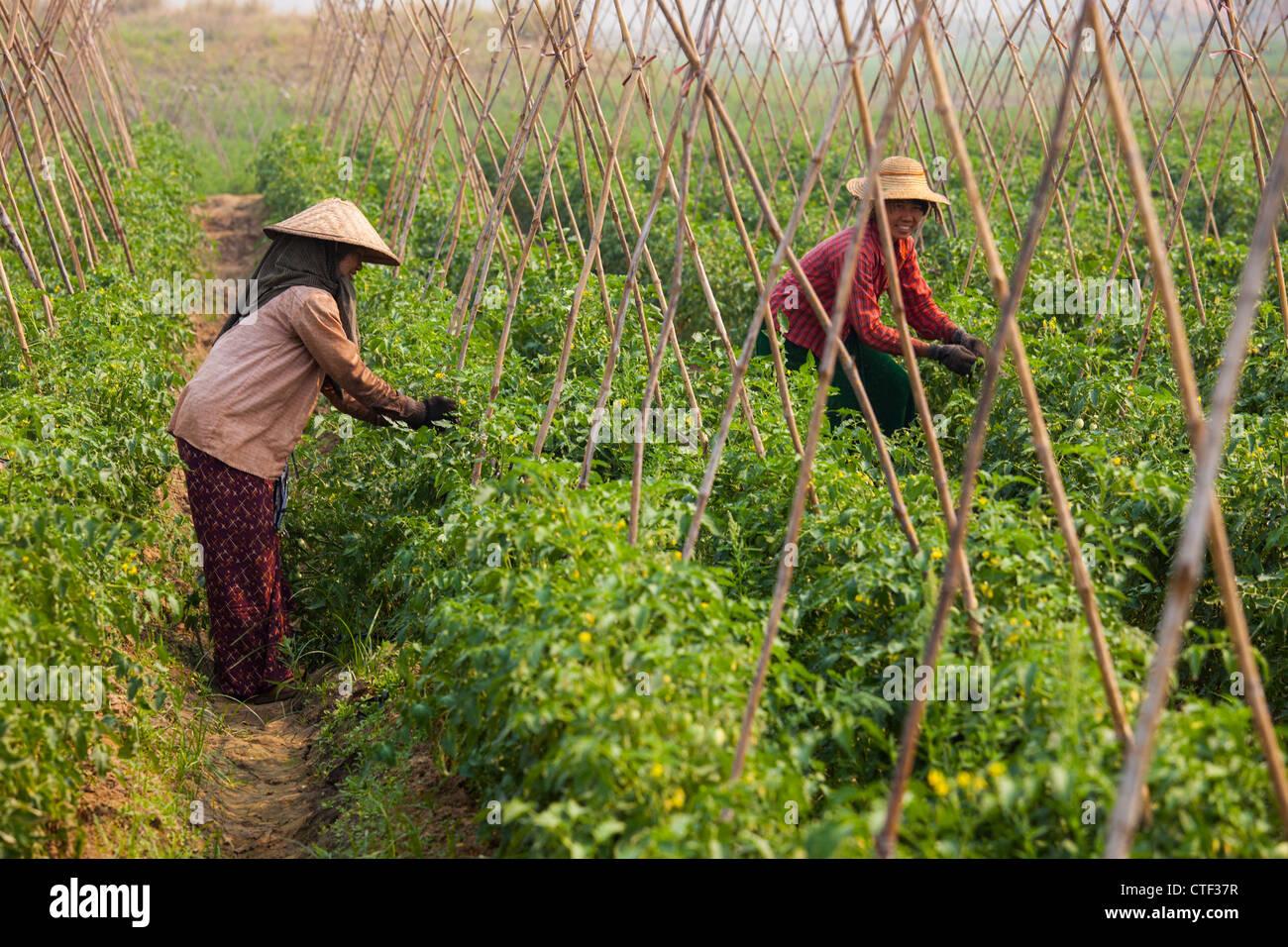Las mujeres campesinas de tomate en Myanmar Imagen De Stock