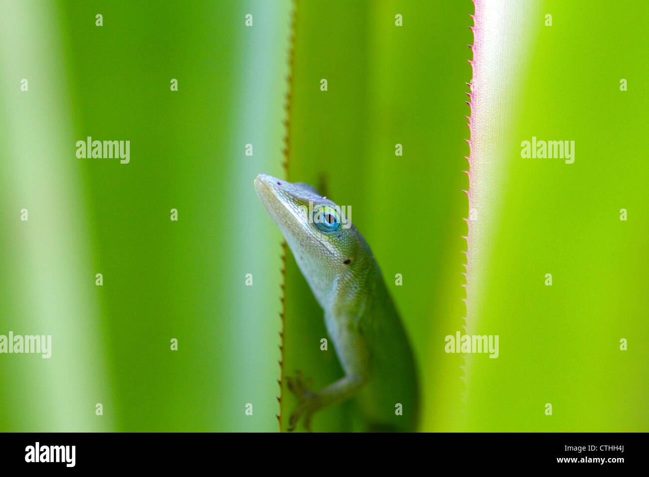 Anole verde es un lagarto arborícola localizado en la isla de Kauai, Hawaii, USA. Foto de stock