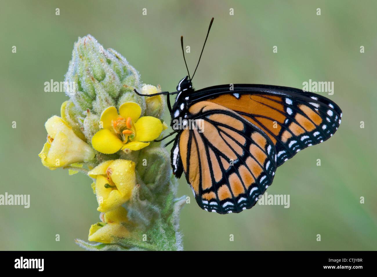 La mariposa virrey Limenitis archippus que recolectan néctar polinizando Mullein Verbascum Thapsus común este de los EE.UU. Foto de stock