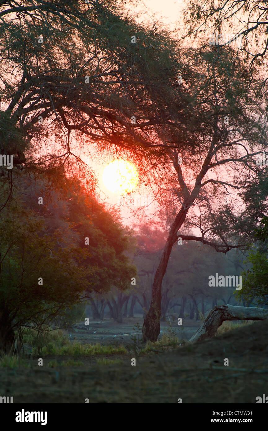 Piscinas de maná Atardecer visto a través Faidherbia albida woodlands en antiguas terrazas fluviales, bajar el valle de Zambezi, Zimbabwe Foto de stock