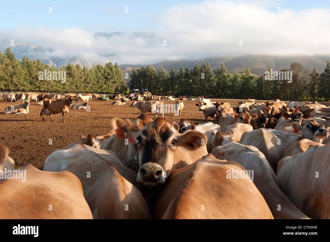 Y el rebaño de vacas Cuernsey, Overberg, Western Cape, Sudáfrica Foto de stock