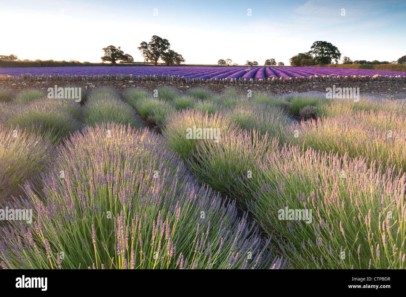 Campos de lavanda en Somerset, Inglaterra, temprano en la mañana luz al alba Foto de stock